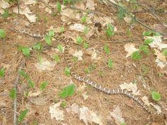 Milk snake seen while hiking on the La Cloche Silhouette Trail in Killarney.
