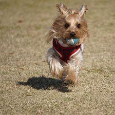 今日は暖か☀️予報  大好きなランラン💨出来るといいね❣️ 皆さんも楽しい週末を😊  #ヨークシャーテリア #ヨーキー #わんこなしでは生きていけません会 #わんこ #愛犬 #ペット #公園で #走る走る #走るいぬ #楽しそう #ボールで遊ぶ #ランラン #ミラーレス #ミラーレス初心者🔰#SONYα6000 #dog #la_dog #total_dogs #todayswanko #fauna_police #fever_pets #loves_pets #ed_dogs #east_dog_japan #policelove