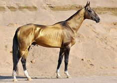 If you ever had the chance of seeing an Akhal-Teke in person, and better yet ride one, it was surely a memorable experience. Akhal-Teke's uni. Appaloosa, Akhal Teke Horses, Friesian, Tennessee Walking Horse, Clydesdale, Saddlebred Americano, Rare Horse Breeds, Rare Horses, Golden Horse