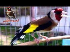 vídeo canto canario - la mejor canción de entrenamiento de 40 minutos canario - YouTube
