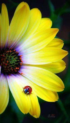 ladybug on African daisy