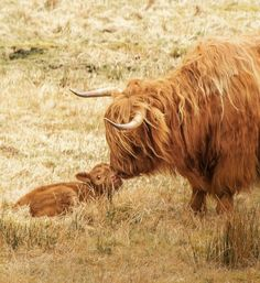 Highland cow with newborn calf Scottish Animals, Scottish Highland Cow, Highland Cattle, Scottish Highlands, Cute Baby Animals, Farm Animals, Animals And Pets, Mini Cows, Fluffy Cows