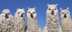 Alpaca's: this is where the wool for ZAZU's garments is coming from!
