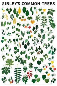 Sibley's Common Trees of Eastern North America Wall Poster Fifty of the most well-known broad-leaf tree species beautifully rendered in full-color.
