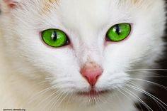 Photo chat blanc yeux bleus - Photo de chat
