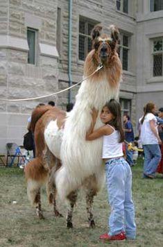 More llama hugs!