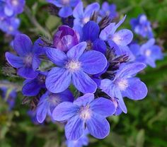 Anchusa azurea - 'DROPMORE BLUE'. I love blue flowers and the Anchusas are so beautiful.