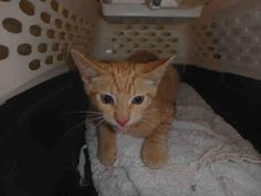 A1649011 - URGENT - CITY OF LOS ANGELES SOUTH LA ANIMAL SHELTER in Los Angeles, CA - Male KITTEN Domestic SH