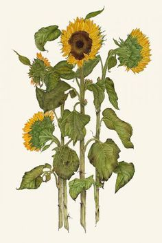 Charlotte Iliff | American Society of Botanical Artists
