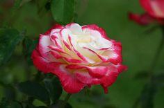 Rosas - Guía de Jardinería