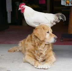 Golden Retriever with his rooster friend