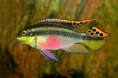 Pelvicachromis pulcher, Kribensis, Krib Cichlid