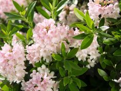 Rhododendron 'Bloombux' ® - Rhododendron micranthum 'Bloombux' Buxus, Plants, Plant, Planets