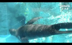 Seals swim well