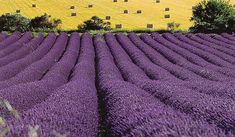 Italian lavender field. Inhale...exhale...