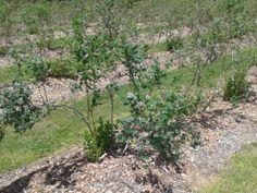 More rows of Liberty Ridge Farm's blueberries 6.6.14