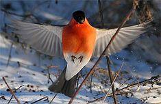 Bullfinch, Birds, Illustration, Painting, Animals, Google, Animales, Nature, Animaux