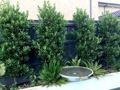The Bay Tree – Melbourne's alternative to Ficus — Warners Nurseries Ficus Hedge, Hedge Trees, Ficus Tree, Trees And Shrubs, Bay Leaf Plant, Bay Leaf Tree, Bay Trees, Bay Leaves, Bay Laurel Tree
