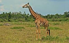 Desktop Backgrounds - giraffe picture (Bunyan Little 1920x1200)