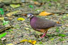 Colombe de Veragua - Olive-backed Quail-Dove (Geotrygon veraguensis) - by Cyn Vargas on 500px