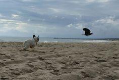 Arthur Vom Wietkiekenberg, French Bulldog at the Beach