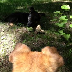 Rocky wants his ball back. Good Ol, Corgi, Animals, Animais, Corgis, Animales, Animaux, Animal, Dieren