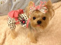 A blond yorkshire! Yorkies, Yorkie Puppy, Teacup Yorkie, Yorkie Clothes, Cute Dog Clothes, Cute Dog Outfits, Cute Little Dogs, I Love Dogs, Dog Photos
