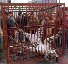 Stop skinning tigers!