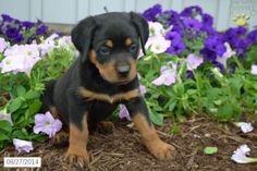 Ken - Rottweiler Puppy for Sale in Loudonville, OH