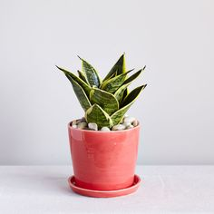 tabletop plants - The Sill