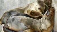 Cientos de bebés de león marino han aparecido en las playas de California en los últimos meses.