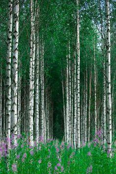 Birch Forest Karelia, Finland / Photograph Untitled - Ari Vitikainen on Birch Forest, Tree Forest, Birch Trees, Aspen Trees, Beautiful World, Beautiful Places, Beautiful Forest, Oh The Places You'll Go, Belle Photo