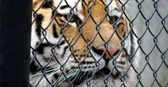 Mike VI is the sixth Mike to die at LSU!  Now, LSU's tradition of condemning tigers to life in captivity and subjecting them to bright lights and screaming crowds needs to die, too.  Tell LSU to make sure that Mike VI is the last tiger to die on its watch!  The greatest respect LSU could pay Mike is to STOP EXPLOITING WILDLIFE in his memory!  Please Sign and Share Widely!