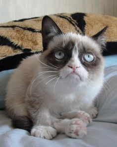 Grumpy Cat is a rare breed called a Snowshoe cat! Absolutely want this cat! She is so lovely.that face! Grumpy Cat Humor, Cat Memes, Grumpy Cats, I Love Cats, Cool Cats, Baby Cats, Cats And Kittens, Cat Boarding, Mundo Animal