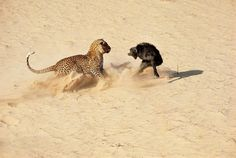 a leopard, seconds away from killing a terrified baboon, in a hair-raising picture. poor baboon!