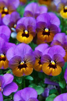Pansies http://flowersgifts.labellabaskets.com faragmoghaddassi@yahoo.com