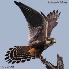 North+American+Birds | Life, Habitat & Pictures of the Aplomado Falcon