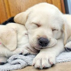 Yellow lab puppies, dogs and puppies, cute puppies, cute dogs, labrador Labrador Retrievers, Golden Retriever, Labrador Dogs, Retriever Puppies, Golden Labrador, Cute Puppies, Cute Dogs, Dogs And Puppies, Doggies