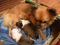 Mia 2 týždňové šteniatka Corgi, Animals, Corgis, Animales, Animaux, Animal, Animais