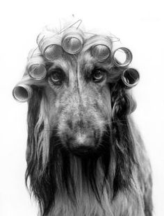 dog in hair rollers curlers, black white photography, They told me that if I shared my pins it would make my hair curl
