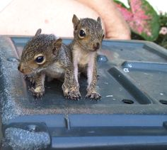 I had baby squirrels growing up, bet you didn't know that , and heres a picture of them all tiny and cute.D Baby Squirrels Flying Squirrel, Cute Squirrel, Baby Squirrel, Squirrel Memes, Squirrels, Super Cute Animals, Cute Baby Animals, Animals And Pets, Giraffes