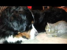Squirrel hides nuts in a Bernese Mountain dog as seen on Ridiculousness 1