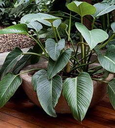 Houseplants: Philodendron 'Congo'. These large-leaved houseplants come in a variety of colours. Grow it in diffuse light and allow the surface soil to dry out between waterings. Read more about house plants here http://www.gardenersworld.com/plants/features/plants/10-exotic-house-plants/3482.html