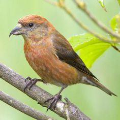 Male Red Crossbill .... just had these eating at my feeder this Morning. Eating the Apple Suet and Peanut Butter Suet.