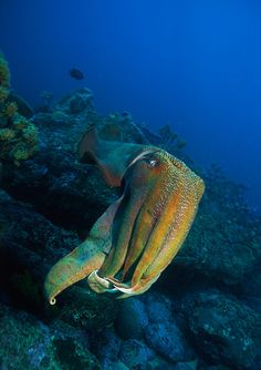 thelovelyseas:    Giant Cuttlefish - Ulladulla by Rowland Cain on Flickr.