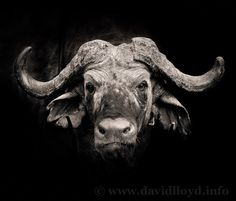 African Buffalo by David Lloyd | Earth Shots