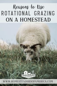 Reasons to Use Rotational Grazing to Raise Pastured Livestock on the Homestead #homestead #selfsufficiency #sheep #cows #poultry #chickens #goats #livestock #farming #sustainability #pastured Livestock Farming, Modern Homesteading, Meat Chickens, Cows, Cattle, Poultry, Sustainability, Sheep, Prepping
