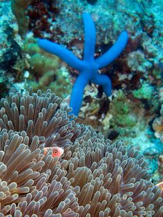 Pink Anemone Fish with Blue Sea Star by David M Hogan.