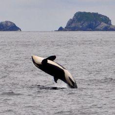 Looks like this orca at Kenai Fjords National Park in Alaska is having fun. Photo by Sheridan Tobin (www.sharetheexperience.org).
