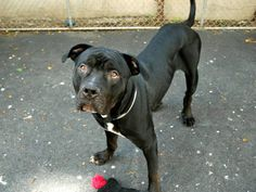 SAFE 5/17/13 Manhattan Center  RALPH A0964574 Male black/white am pit bull ter mix  3 YRS old. Three year old Ralph is a lovable mush who entered the Manhattan Center as a stray. He is an excellent dog who has an AVERAGE rated safer to prove it. Ralph has it all going on..everything, that is, but a home. Please share him for one today.  https://www.facebook.com/photo.php?fbid=612374832108733=a.172404072772480.42595.152876678058553=1